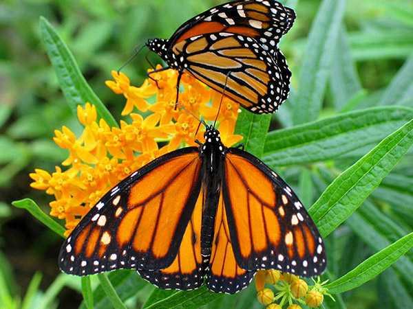Transgénicos amenazan migración de mariposa Monarca a México