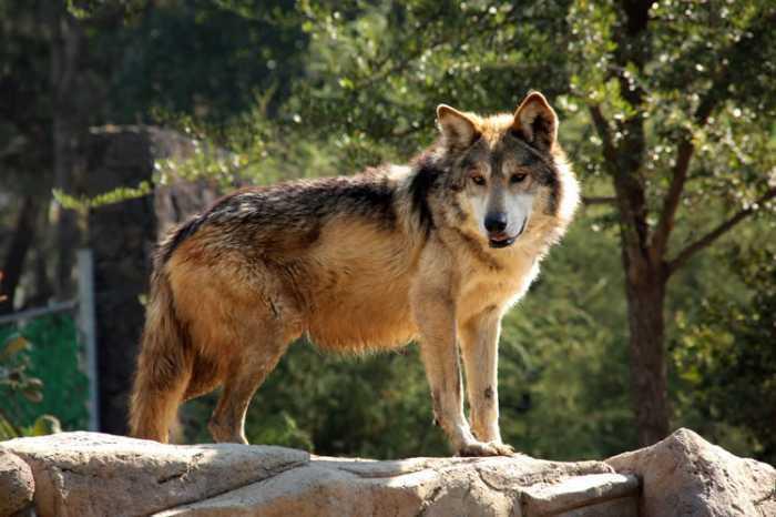 Lobo mexicano se extingue, ya sólo quedan 350 ejemplares