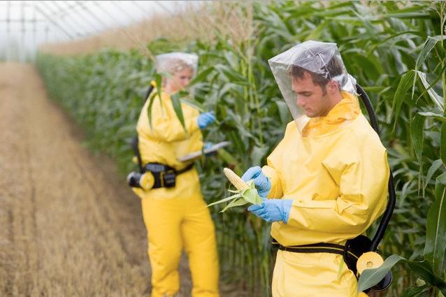 Agricultores-Verificando-Toxicidad-Maiz-Transgenico-Monsanto