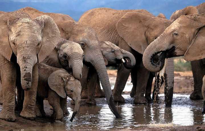 Los elefantes tienen el mejor olfato del mundo