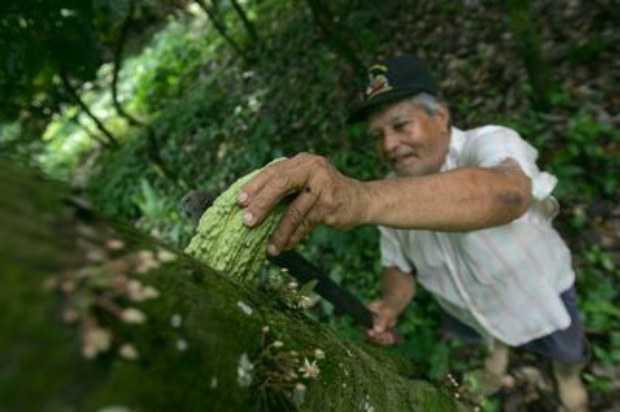 Panamá: Descubren hongo en cacao que protege a los cultivos de enfermedades