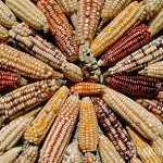 El viernes tribunal decide si autoriza siembra de maíz transgénico o sigue suspendida