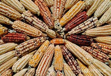 Landraces varieties of Mexican maize. Oaxaca, Mexico