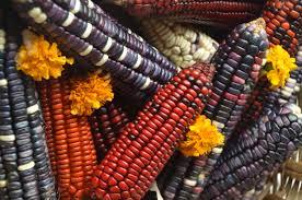 Demanda Colectiva contra maíz transgénico busca apoyo mundial