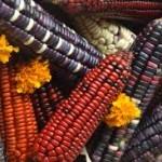 Coexistencia imposible de transgénicos con maíces mexicanos
