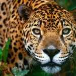 El jaguar, en peligro crítico de extinción