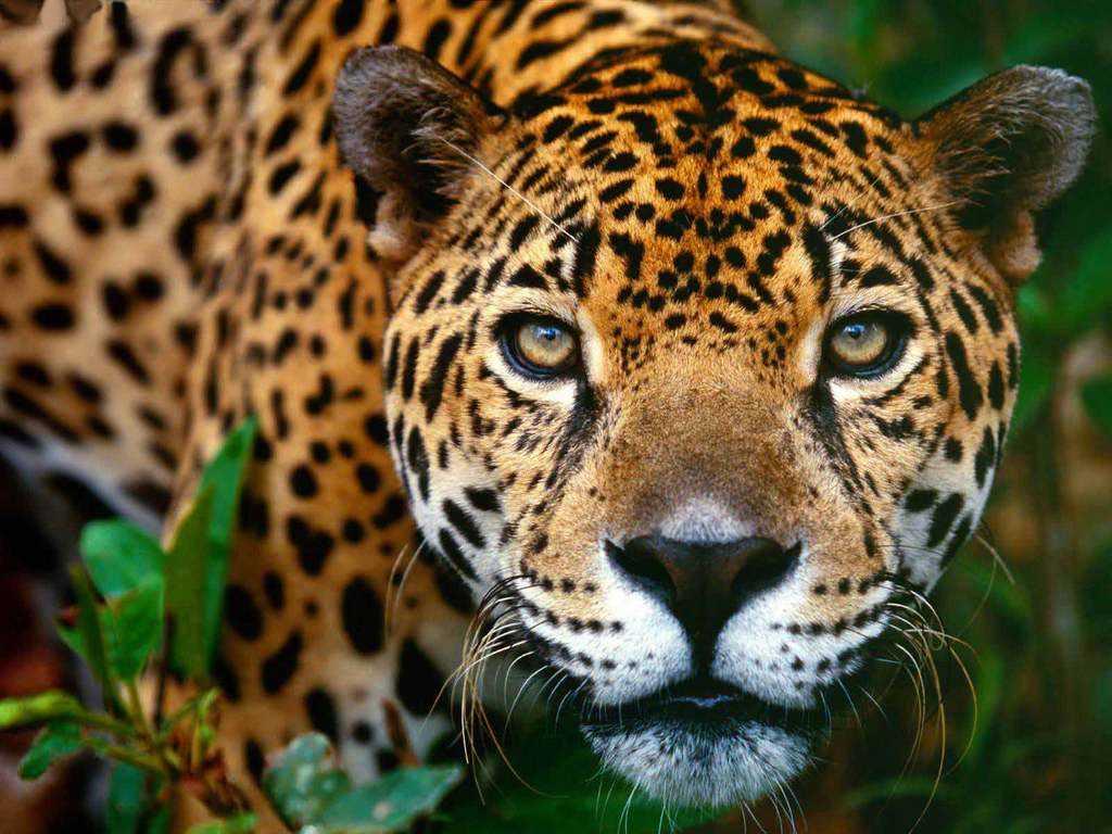8542b_jaguar-maya_120_90 flora y fauna mexico