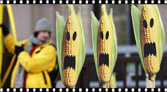 Jueces mantienen suspensión de siembra de maíz transgénico