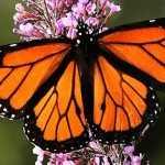 Monsanto provoca casi la extinción de la mariposa monarca
