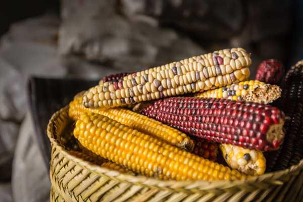 Los caminos del maíz