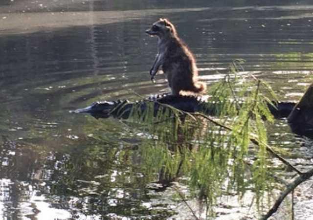 Mapache montado sobre cocodrilo para cruzar río (foto viral)