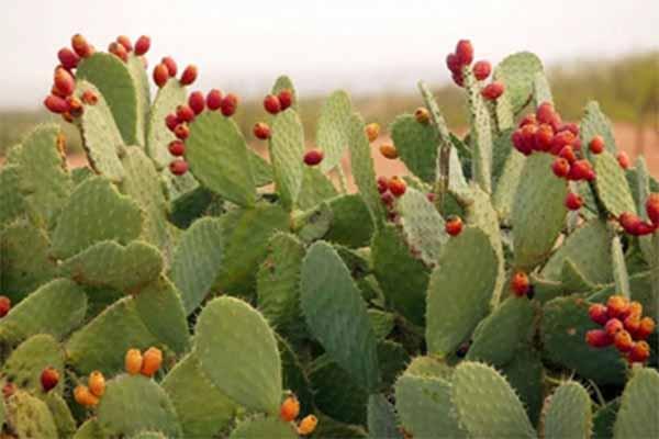 Investigadores de Coahuila revelan que el nopal podría salvar al ganado en tiempo de sequía