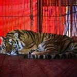 Desolación y destino incierto en circos, por ley que prohíbe uso de animales
