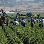 Por exigir derechos despido masivo de jornaleros en San Quintín