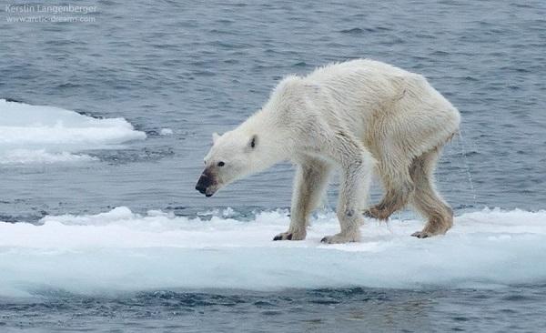 Osos polares, hambruna y cambio climático