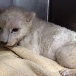 Cachorros de León Blanco rescatados en DF