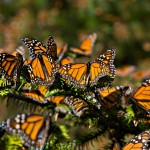 200 guardianes monitorean el paso de mariposas Monarca en Guanajuato