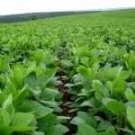 La Corte anula permiso a Monsanto para producir soya transgénica
