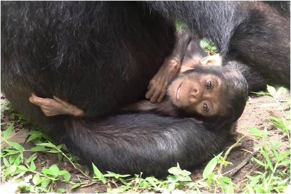 La-madre-chimpance-que-cuido-de-su-hija-discapacitada_image_380