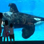 El show de orcas asesinas en SeaWorld llegará a su fin