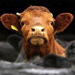 La contribución de un bistec al calentamiento global