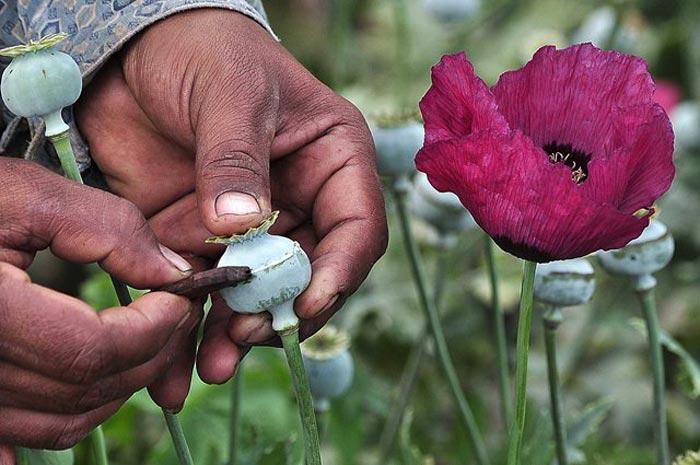 En estados donde aumentó siembra de amapola también repuntó la violencia