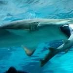 En acuario surcoreano un tiburón se come a otro (video)