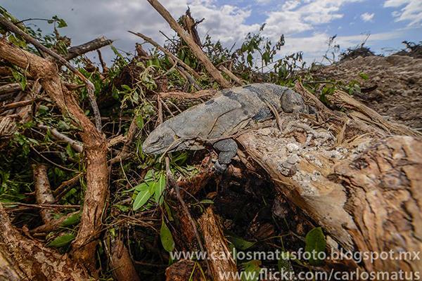 Iguana tajamar manglar cancún