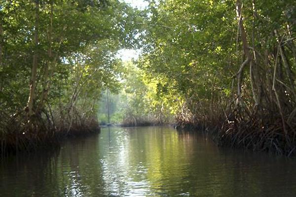 Desarrollo vs. manglares: devasta más del 50% en 40 años
