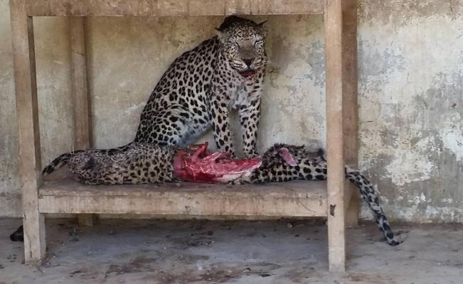 leopardos yemen