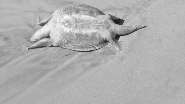 Tortugas en Guerrero murieron por parásitos