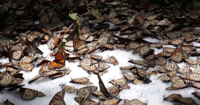 Frente frío fuera de tiempo mata mariposa Monarca
