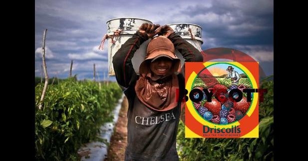 Inician jornaleros de San Quintín poderoso boicot a Discroll's