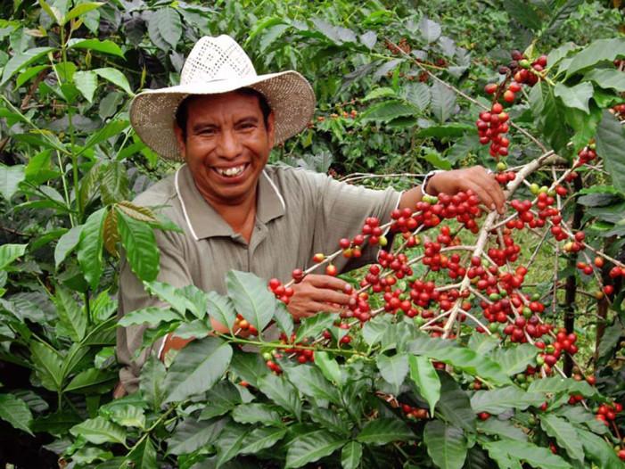 Productores de café abandonados por el gobierno frente a la roya