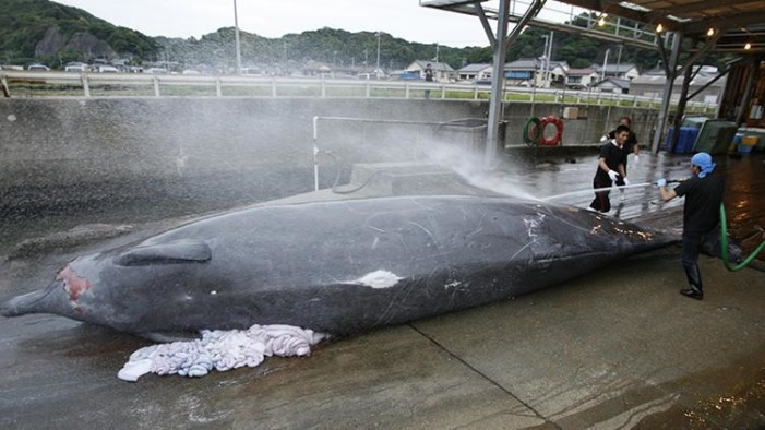 Japón mata 200 ballenas embarazadas