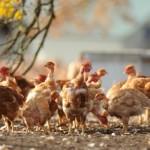Científicos crean genéticamente un pollo con patas de dinosaurio