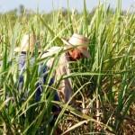 El Niño afectó la producción de azúcar en el mundo