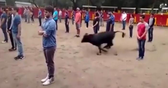 Demuestran que un toro no ataca aunque esté rodeado de gente (VIDEO)