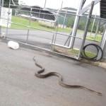 Una mujer australiana se despertó con una sorpresa serpentaria de 5 metros