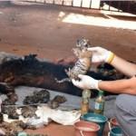 Encuentran 40 cachorros de tigre muertos en templo budista