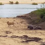 Bebé hipopótamo corretea a león que intentaba comerse a su mamá enferma