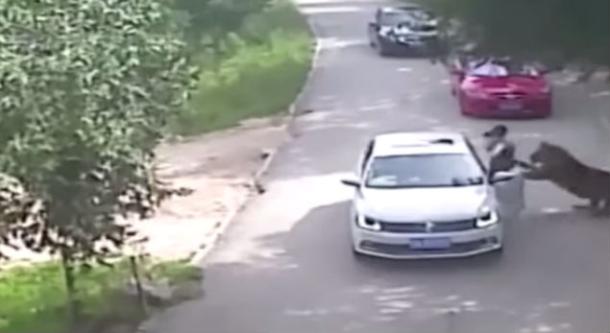 Tigre ataca y mata a mujer en zoológico de China (video)