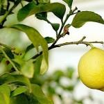 Ocho árboles frutales que puedes cultivar sin jardín
