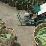Milpa Alta produce 300 mil toneladas de nopal al año; exporta a EU y Europa