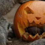 Animales en zoo de Reino Unido reciben regalos de Halloween (video)