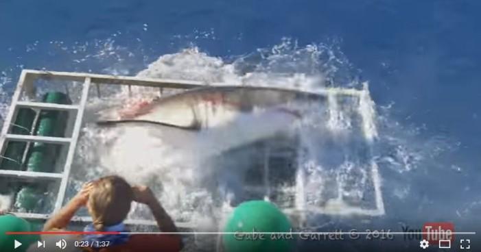 Investigan caso de tiburón que entró a jaula con buzo y salió ileso