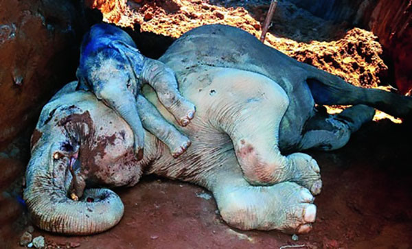 Desgarrador video de elefanta muerta y su bebé tratando de reanimarla