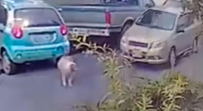 Hombre atropella a perro intencionalmente en Neza (video)