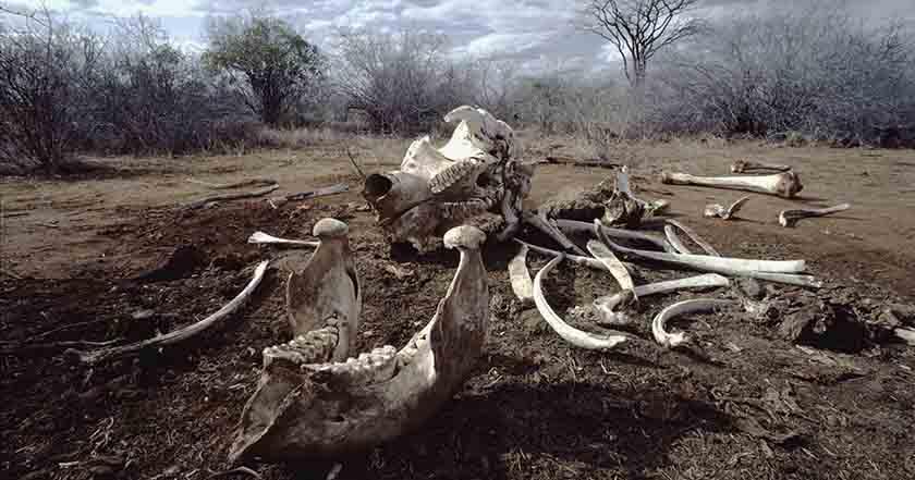 China prohibirá el mercado de marfil elefantes caza ilegal naturaleza extinción