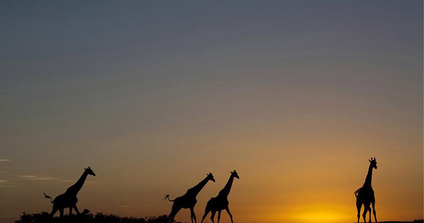 Las jirafas se están extinguiendo sin que nos demos cuenta